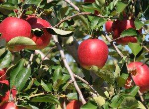 奥久慈りんご園のりんご畑