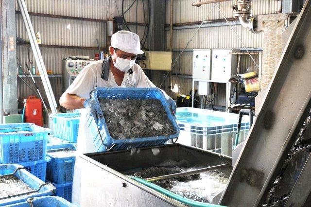 冷水で洗浄してしらす加工がスタート