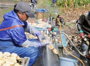 収穫直後にれんこんを洗う様子