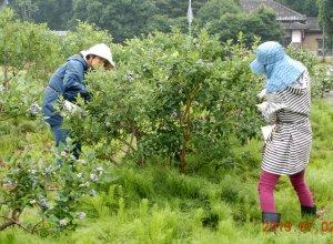 小美玉ブルーベリー生産組合の作業風景