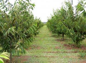 愛樹マロンの畑