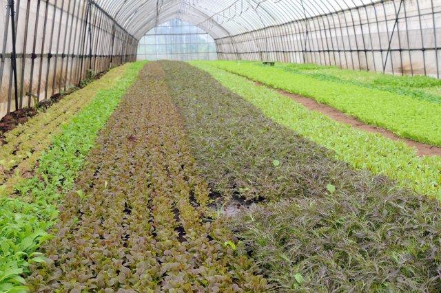 石田農園のベビーリーフ畑