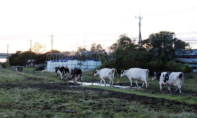 牛舎に帰る牛たち
