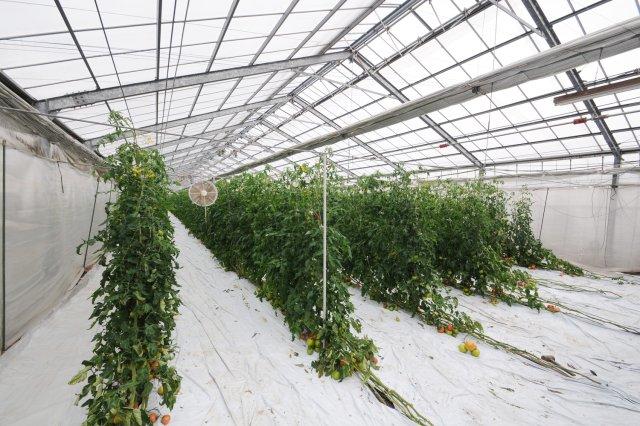 よしくぼ園芸のトマト農場