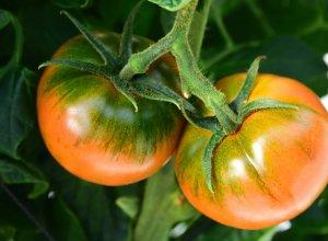 樹上のスーパーフルーツトマト