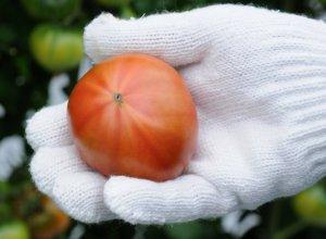 スーパーフルーツトマトおしり