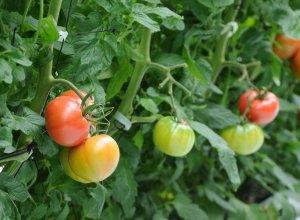樹になるスーパーフルーツトマト