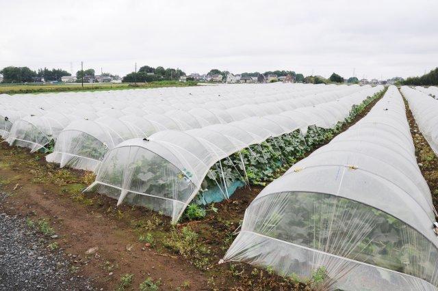 トンネル栽培を行う照内さんのタカミメロンの圃場