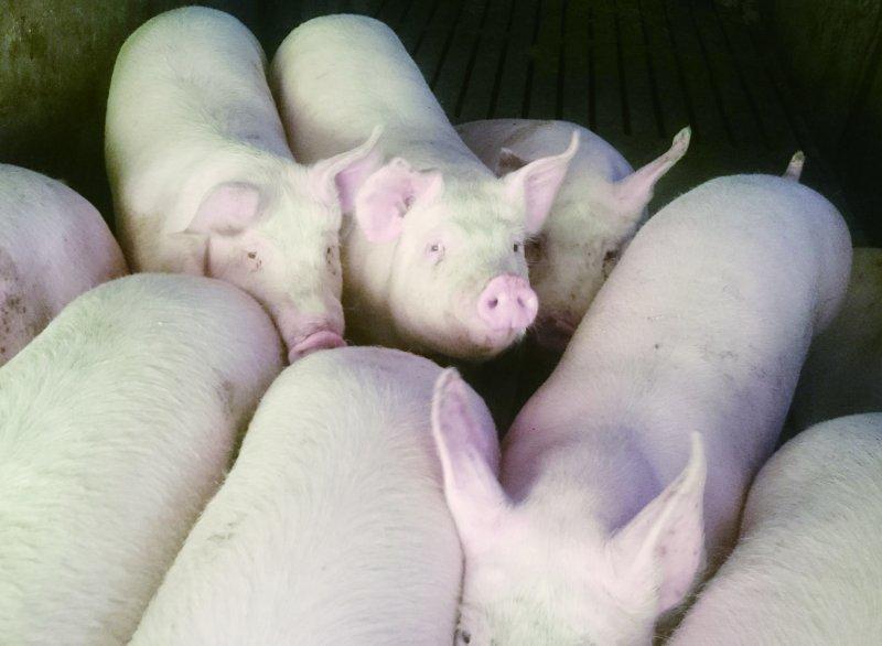 サンゴクファームの豚
